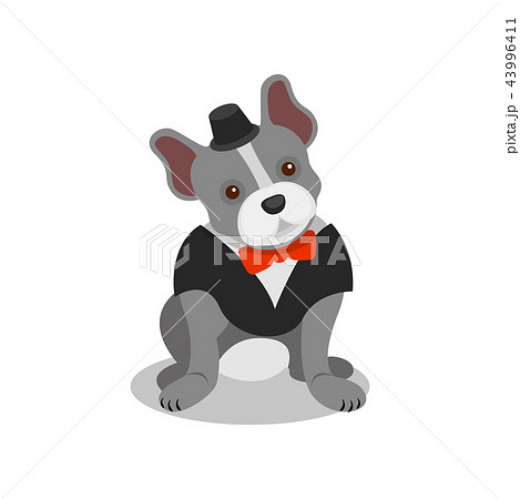 Boston terrier pedigree dog in black suit and bow tie, cute puppy pet character vector Illustration 43996411