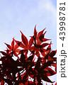 楓 カエデ メープルの写真 43998781