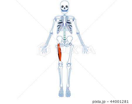 大腿四頭筋 大腿直筋 44001281