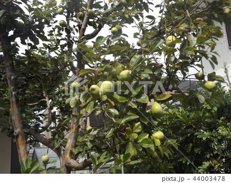 秋には香りの良い実に熟すカリンの未熟な実 44003478