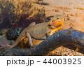 動物 イグアナ 爬虫綱の写真 44003925