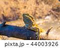 動物 イグアナ 爬虫綱の写真 44003926