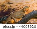 動物 イグアナ 爬虫綱の写真 44003928