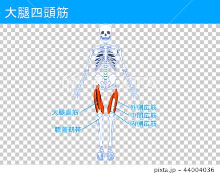 大腿四頭筋 44004036