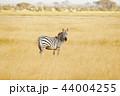 動物 野生動物 サバンナの写真 44004255