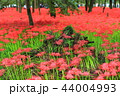 曼珠沙華 彼岸花 巾着田の写真 44004993