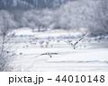 樹氷に囲まれたねぐらから飛び立つタンチョウ(北海道・鶴居) 44010148