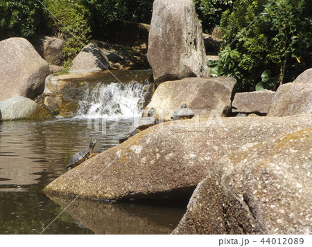 稲毛海浜公園の池に亀さん沢山 44012089