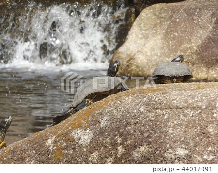 稲毛海浜公園の池に亀さん沢山 44012091