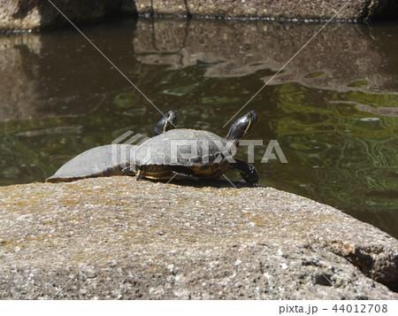 稲毛海浜公園の池に亀さん二匹 44012708
