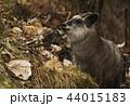 ニホンカモシカ カモシカ 羚羊の写真 44015183