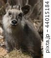 ニホンカモシカ カモシカ 羚羊の写真 44015184