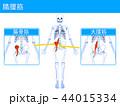 筋肉 骨格 骨のイラスト 44015334