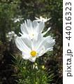 コスモスの白い花 44016323