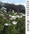 コスモスの白い花 44016324