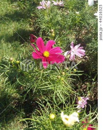 秋の花コスモスの白と桃色の花 44016325