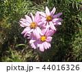 秋の花コスモスの桃色の花 44016326