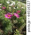 秋の花コスモスの白と桃色の花 44016327