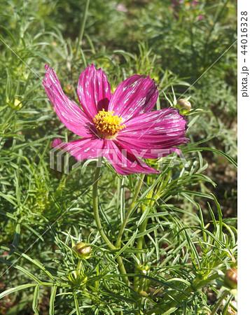 秋の花コスモスの桃色の花 44016328