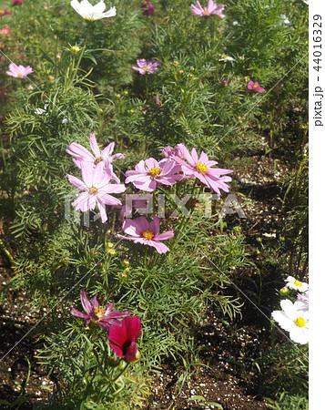 秋の花コスモスの白色と桃色の花 44016329