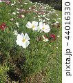 秋の花コスモスの白いr花 44016330