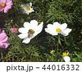 秋の花コスモスの白い花 44016332