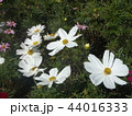 秋の花コスモスの白い花 44016333