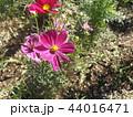 秋の花コスモスの桃色の花 44016471