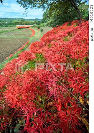 千葉県 小湊鉄道 彼岸花と列車 石神の菜の花畑 44019225