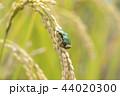 稲穂とアマガエル 44020300