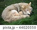 オオカミ 44020350