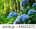 紫陽花 植物 花の写真 44023272