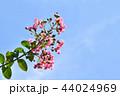 サルスベリ 花 ピンクの写真 44024969
