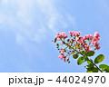 サルスベリ 花 ピンクの写真 44024970