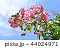 サルスベリ 花 ピンクの写真 44024971