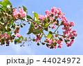 サルスベリ 花 ピンクの写真 44024972