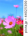 コスモス 青空 ピンクの写真 44025300