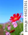 コスモス 青空 赤の写真 44025301