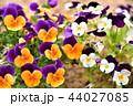 ビオラ 花 植物の写真 44027085