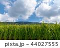 高瀬町 水田 田んぼの写真 44027555
