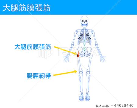 大腿筋膜張筋 腸脛靭帯2 44028440
