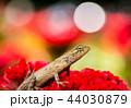 トカゲ 動物 爬虫類の写真 44030879