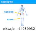 骨格 大腿筋膜張筋 筋膜のイラスト 44039932