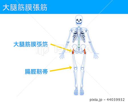 大腿筋膜張筋 腸脛靭帯3 44039932