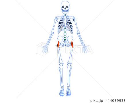 大腿筋膜張筋 腸脛靭帯4 44039933