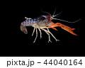 ザリガニ アクアリウム 水族園の写真 44040164
