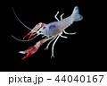 ザリガニ アクアリウム 水族園の写真 44040167