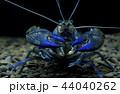 ザリガニ アクアリウム 水族園の写真 44040262