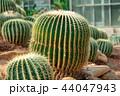 植物 サボテン さぼてんの写真 44047943