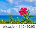 沖縄石垣島 玉取崎展望台 ハイビスカスと海 44049293